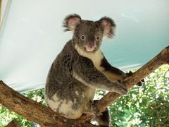 P1010035 (Cyron) Tags: australia zoo koala animal cute cyron australiazoo queensland pc4519 beerwah photo 2004