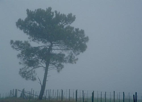 A solitary tree beside a fence, seen through morning mist