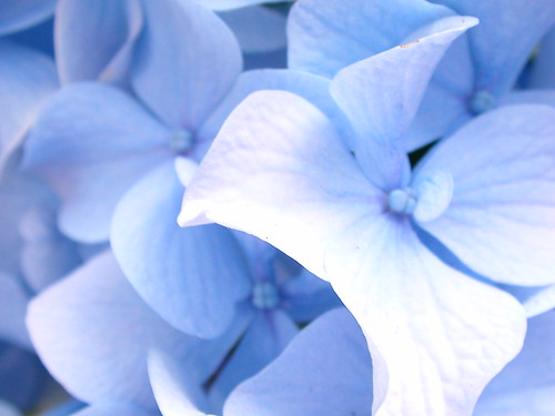Hydrangea Up Close by lore