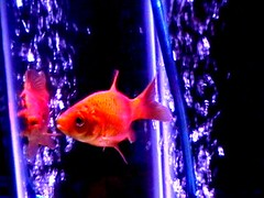 Goldfish (Special) Tags: unfound fish goldfish crapcam