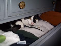 Pied in drawer (sylvar) Tags: pet cute animal cat clothing bureau drawer wardrobe hiding dresser pied glowingeyes