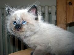 Funny - Neva Masquerade (Buntekuh) Tags: cats pets animals katzen topf15 buntekuh 1000views topf20