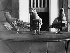Spy Pigeons