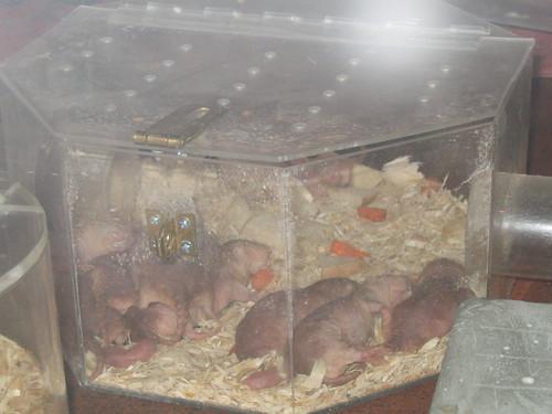 Mole Rats, dozing