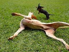 Frolicking Dogs by joaobambu
