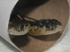 Butler's Garter Snakes
