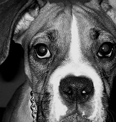 jake // (macca) Tags: boxer dog bw digital