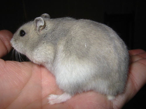 Pregnant Campbell dwarf hamster