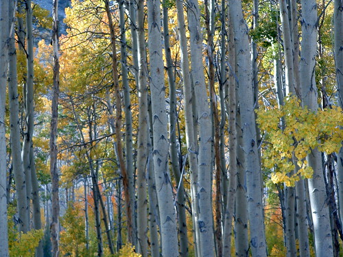 Photo: Aspens by Loyd Schutte