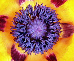 Purple_poppy (Lenny Montana) Tags: colour color