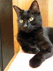 Cleo, One Paw Out (Philosopher Queen) Tags: black cat kitty ccc19