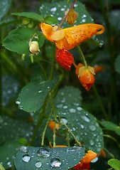 water beading up on jewelweed leaves