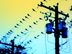 Birds on a Wire (cmwoodley) Tags: birds telephonepole telephonewire wire pole transformers transformer dusk saturate photoshop blue yellow austin texas grackle roost highlandmall urbannature
