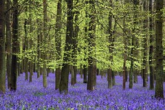Ashridge bluebells - by Today is a good day