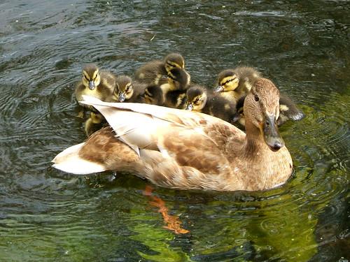 hiding behind mama duck