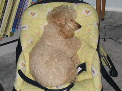 Dog In Baby Bouncer