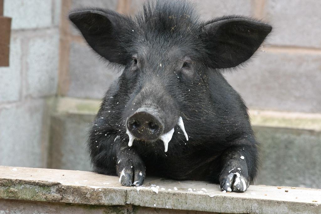 Black Pig Blog Title
