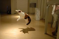 DSC_4986 (junku) Tags: cats topv111 cat fun jump jumping nikon kitten d70 interestingness1 kitties topv9999    fuwari sigma24mmf18exaspdgmacro airbornecat airbornecats