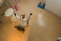 i believe i can fly (junku) Tags: cats cat fun jump jumping topv333 nikon kitten d70 kitties topv9999    fuwari sigma15mmf28exfisheye airbornecat airbornecats