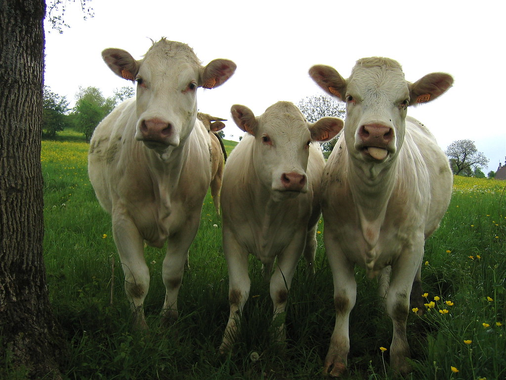pictures of cows animal photos