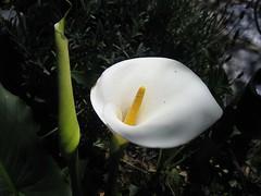 Calla 1627 (snowjoe) Tags: callalily flower green