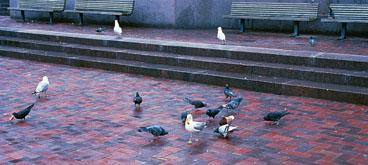 pigeons15