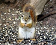 Red Squirrel (Laura Erickson) Tags: feeder redsquirrel