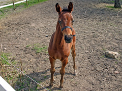 What are you lookin' at? (Steffe) Tags: foal horse farm stav sweden