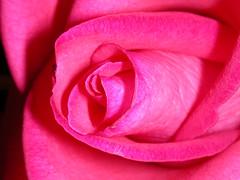 Rose ( Graa Vargas ) Tags: pink flower macro ex rose explore top20flower interestingness136 i500 interestingness127 graavargas 88007270809 2005graavargasallrightsreserved