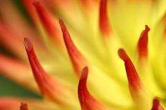 Dahlia 8 (petebeck) Tags: canon300d sf sanfrancisco goldengatepark dahlia flowers bapfs