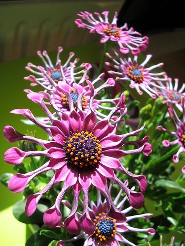 purple, flowers, worldwide, garden, ornamentals, grow, fertilizers, pots