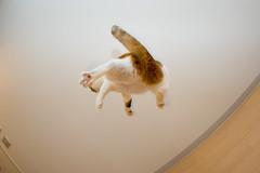 DSC_6133 (junku) Tags: cats topf25 1025fav cat fun jump jumping topf50 topv333 nikon topf75 d70 interestingness1 kitties topv9999 topf150  topf100   fuwari sigma15mmf28exfisheye airbornecat airbornecats