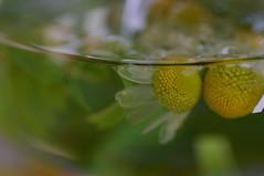 (minato) Tags: tea herb mawep