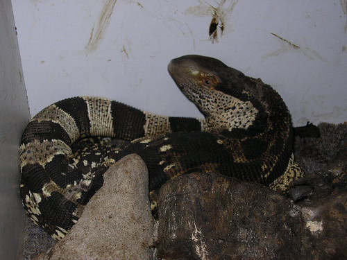 White Throated Monitor Varanus Albigularis Reptiliana Ultimate
