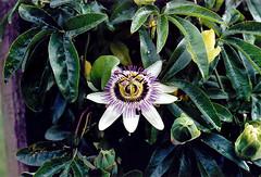 Passionfruit flower (Psycho Milt) Tags: widnes flowers