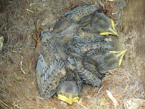 Kauwtjes (Eurasian Jackdaw)