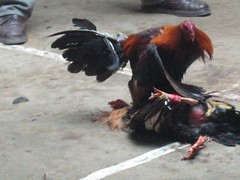COCKFIGHTING: A blood sport for roosters 14986730_1509f1dc84_m