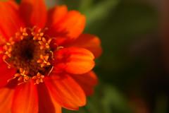 (mk*) Tags: flower orange plant nature zinnia