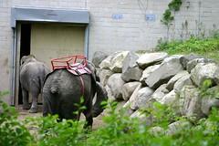 Tire, Elephant, Stubby Tail (Ninox) Tags: animals localzoo