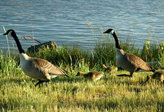 Geese and Goslings 4
