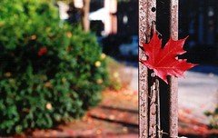 fall, interrupted (nardell) Tags: autumn red fall film leaf pa ocanada westchester savedfromfalling