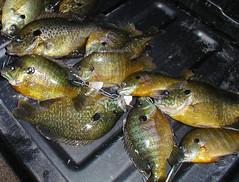 Sunfish (gdsanders) Tags: texas sunfish bream perch fish fishfry