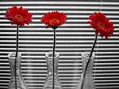 gerbera (heavenuphere) Tags: flower topf25 cutout 1 topf50 topf75 gerbera blinds topf100 gi