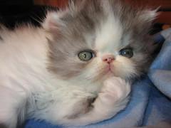 Cassiopeja (Anders Viklund) Tags: innekattens persian cats perserkatter kittens kattungar gatitos persas haninge stockholm sverige sweden suecia