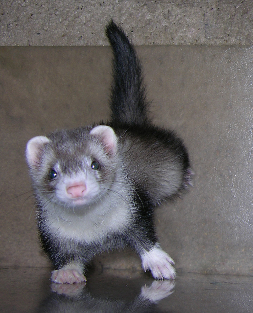Animals Zoo Park Ferrets Care Facts Pictures