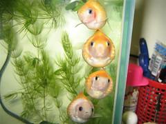 史湘雲 賈母 林黛玉 晴雯 (Chrischang) Tags: fish aquarium goldfish fishtank