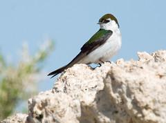 Violet-green Swallow (mhawkins) Tags: violetgreenswallow tachycinetathalassina bird male