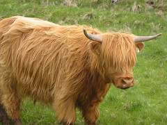 Highland cow (Eirik Newth) Tags: utsira cow flickrstock