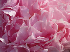 Peony Frosted Pink (Van in LA) Tags: 2005 desktop pink wallpaper macro june ruffles peony wallpapers bbg brooklynbotanicgarden peonies colorfield paeonia vanswearingen pastelpower paeoniaceae color:hsv_avg=ee72ad color:hsv_med=ef68b0 color:rgb_avg=ad6080 color:rgb_med=b06884 0xad6581