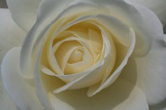white rose (Blackwings) Tags: rose white flower macro blume makro botanical flora 110fav